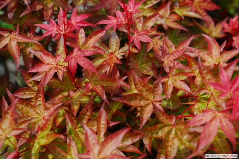 Eglon Nursery Our Plants Over 100 Varieties Of Japanese Maples